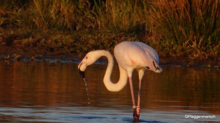 Flamingo in het vechtpark